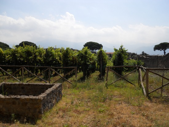 Photo of grape vines in Pompeii - Pompeii in pictures